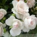 Aspirin Rose®