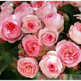 Mini Eden Rose