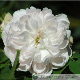 Weiße Jacques Cartier