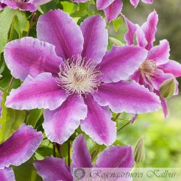 Clematis hybride Dr. Ruppel