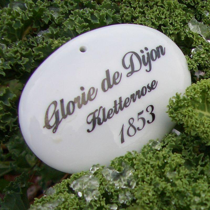 Porzellanschild Gloire de Dijon