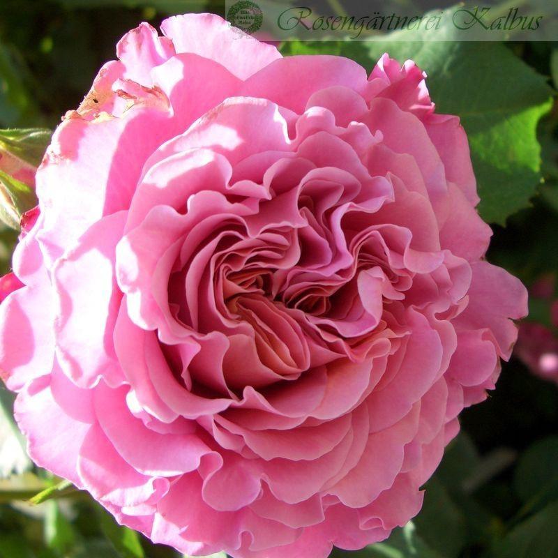 Besondere Rose Agnès Schilliger®