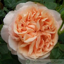Ambridge Rose®