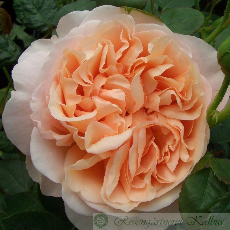 Besondere Rose Ambridge Rose®
