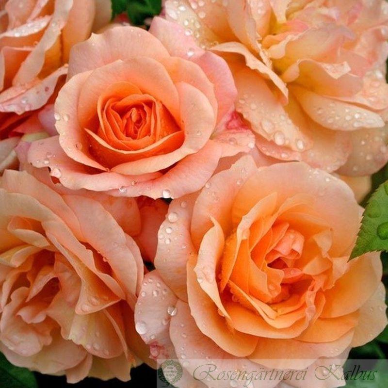 Moderne Rose Aprikola®