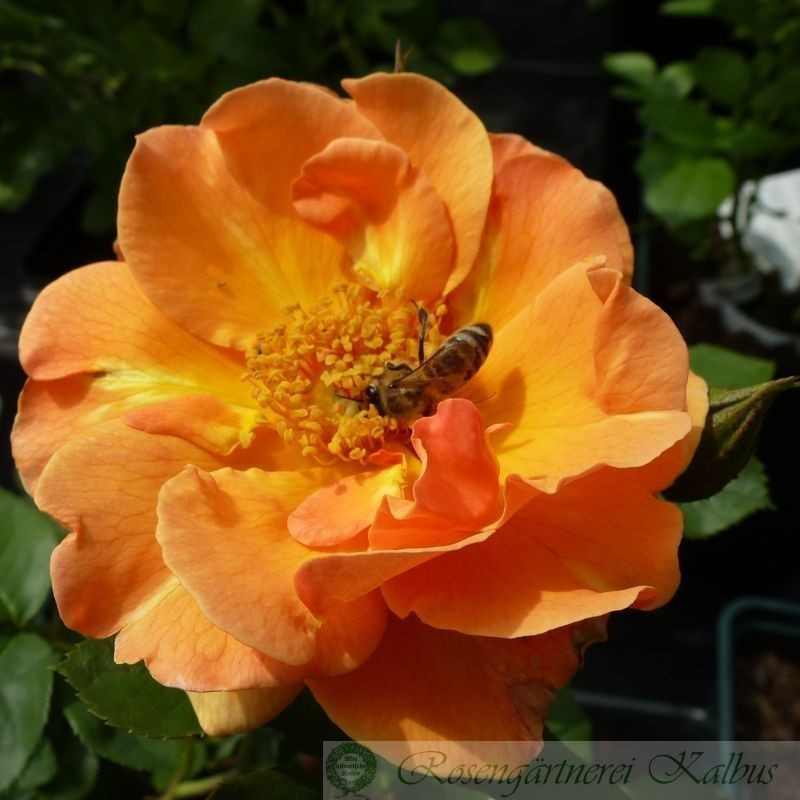 Moderne Rose Arabia®