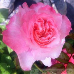 Moderne Rose Augusta Luise®