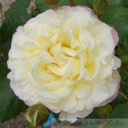 Generosa Rose Aurore de Jacques - Marie®