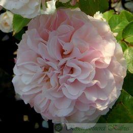 Besondere Rose Badener Rosentraum
