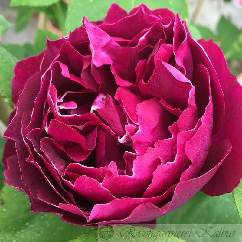 Historische Rose Baron Girod de l'Ain