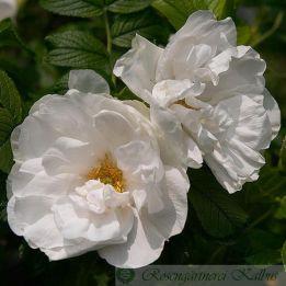 Historische Rose Blanc Double de Coubert