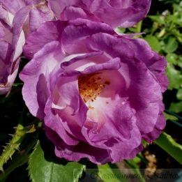 Moderne Rose Blue for you®
