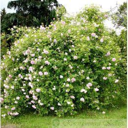 Historische Rose Blush Hip