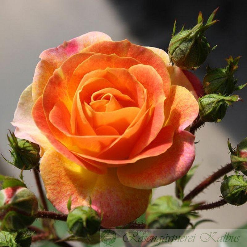 Besondere Rose Bordure Camaieu®