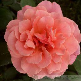 Besondere Rose Bordure Abricot®