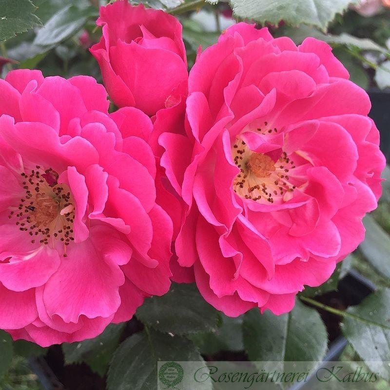 Besondere Rose Bordure Magenta®