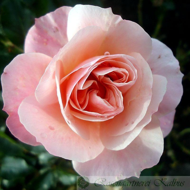 Moderne Rose Botticelli®