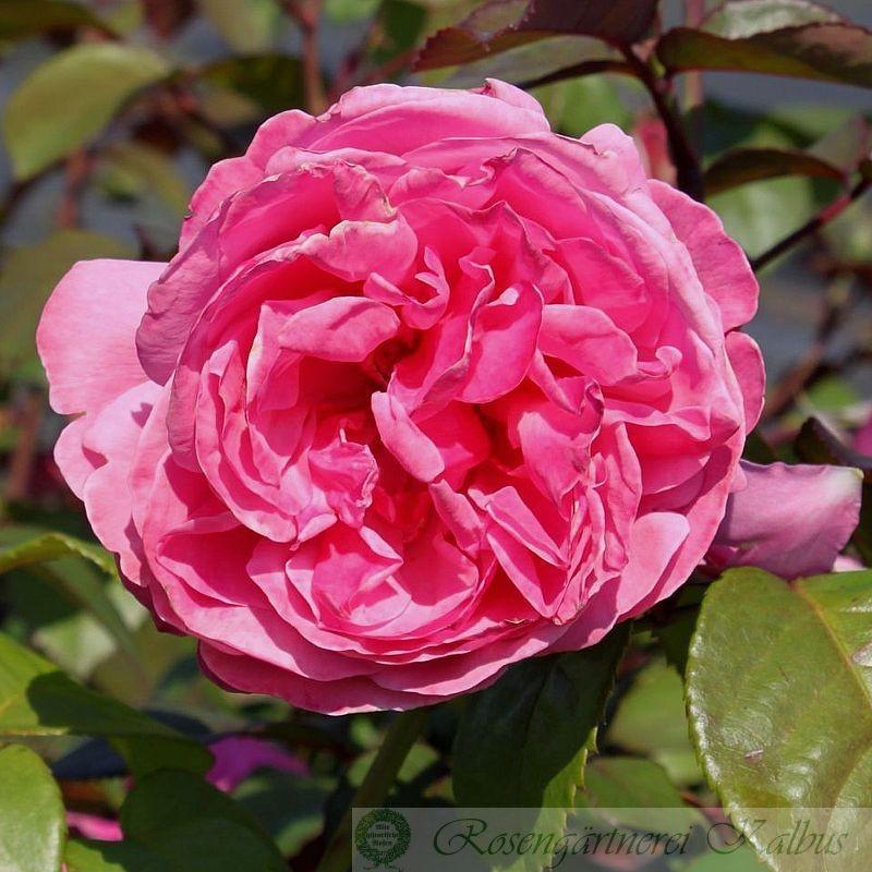 Moderne Rose Elbflorenz®