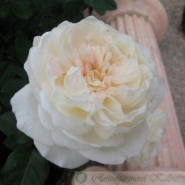 Besondere Rose Eliane Gillet®