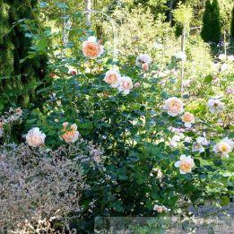 Besondere Rose Elizabeth Stuart®