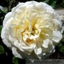 Emanuel (Crocus Rose)