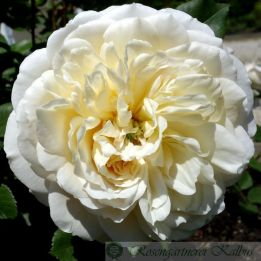 Englische Rose Emanuel® (Crocus Rose)
