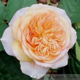 Besondere Rose Evelyn®