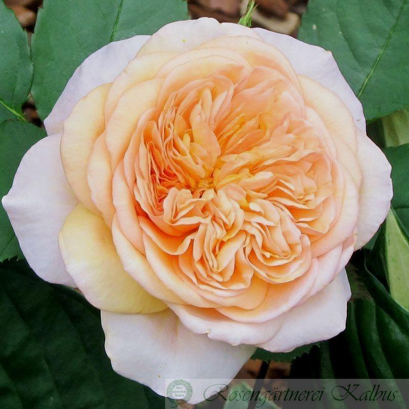 Besondere Rose Evelyn®