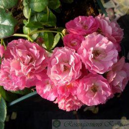 Besondere Rose Ewald Scholle