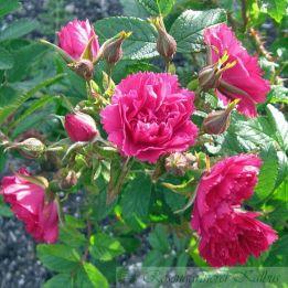 Historische Rose F. J. Grootendorst