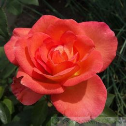 Moderne Rose Fairest Cape®
