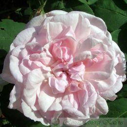 Historische Rose Fantin Latour