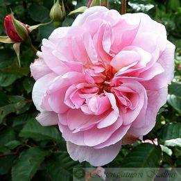 Historische Rose Felicia