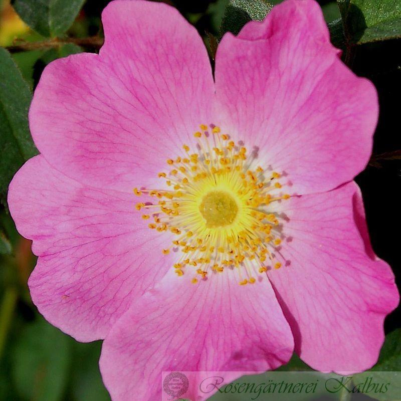 Wildrose Fenja