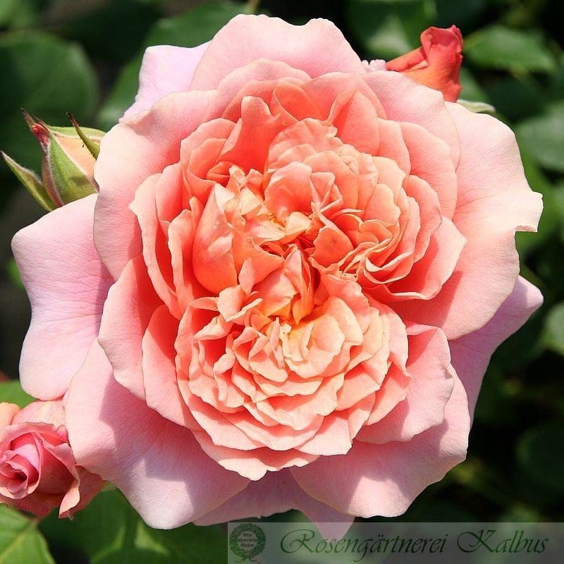 Besondere Rose Festival des Jardins de Chaumont®