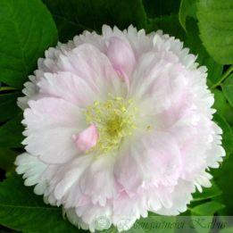 Historische Rose Fimbriata