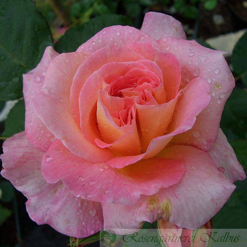 Besondere Rose Fiona Gelin®