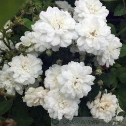 Historische Rose Flocon de Neige