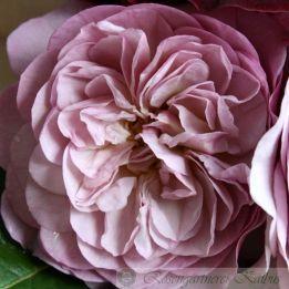 Generosa Rose Florence Delattre®