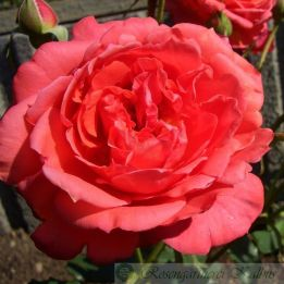 Besondere Rose Florenzia