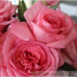 Besondere Rose Fragonard®