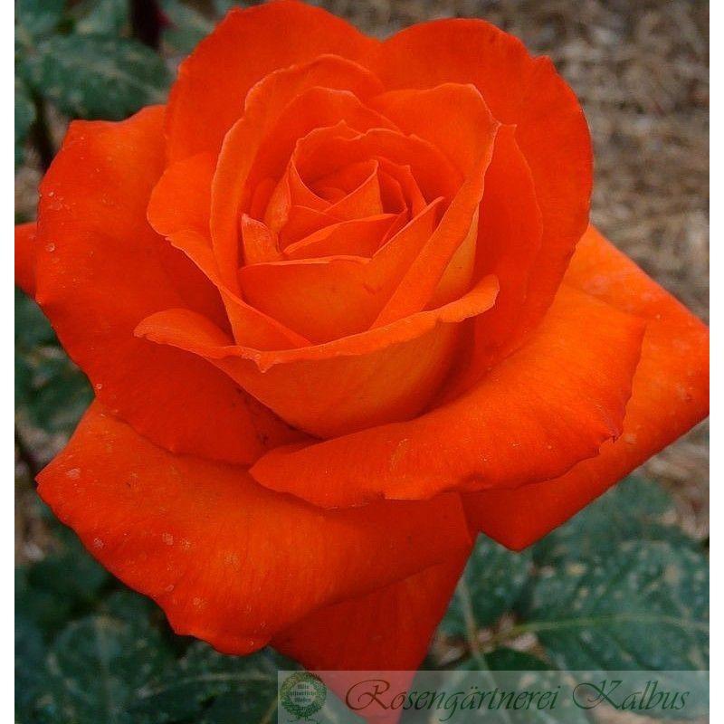 Besondere Rose France Libre®