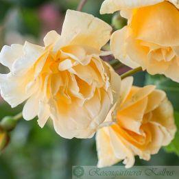 Historische Rose Francesca