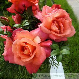 Moderne Rose Freisinger Morgenröte®