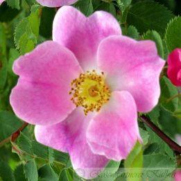 Wildrose Gallica