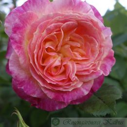 Moderne Rose Gartenspaß®