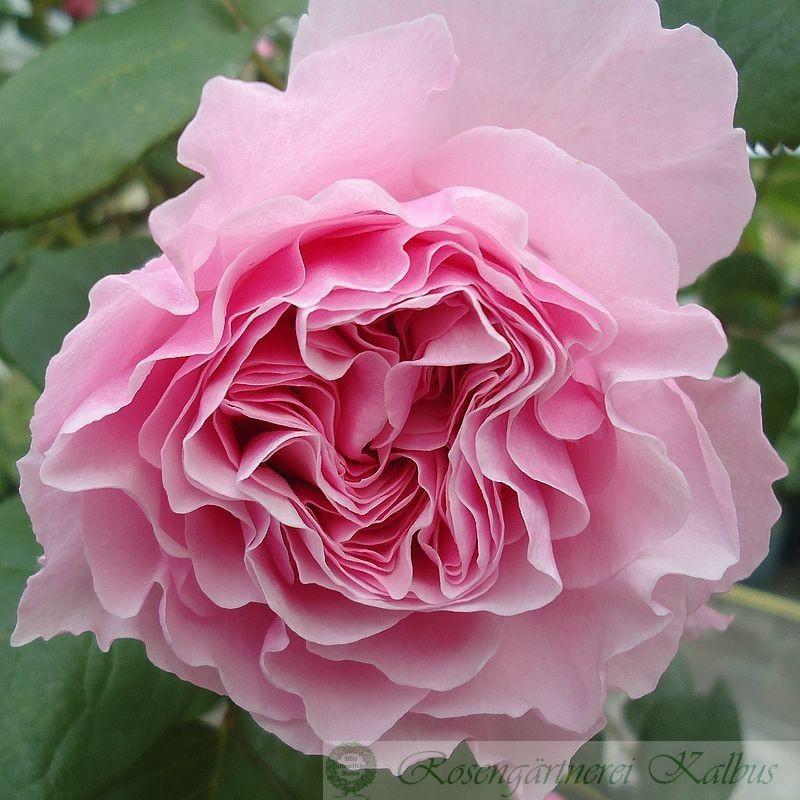 Moderne Rose Gartenträume®