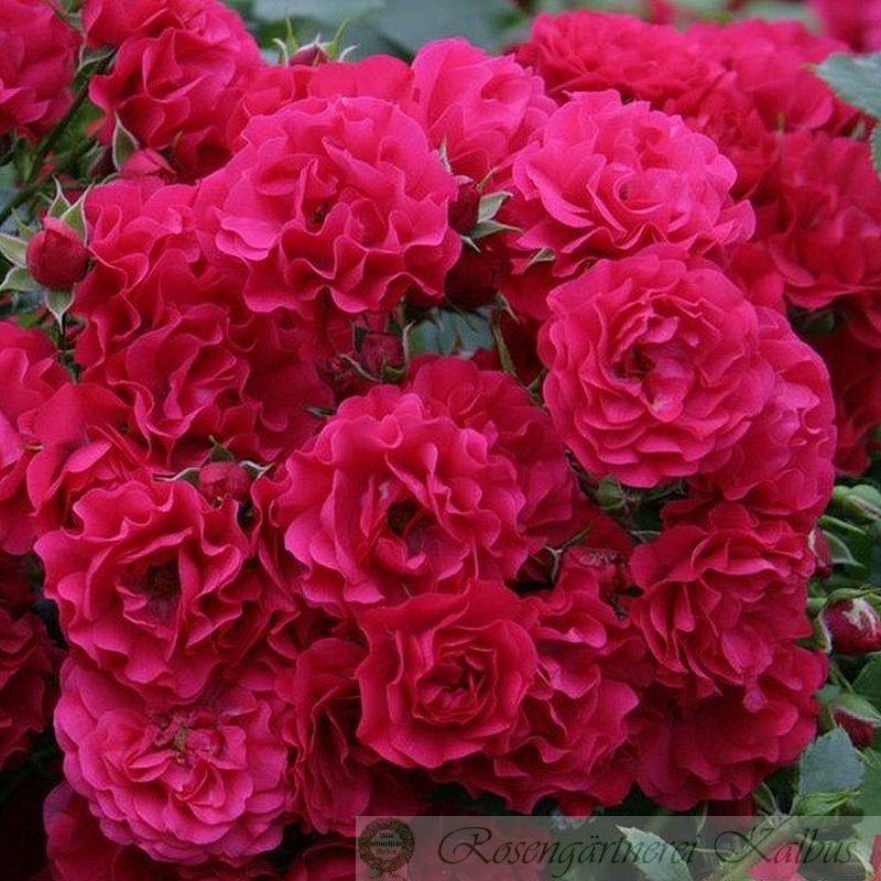 Moderne Rose Gärtnerfreude®