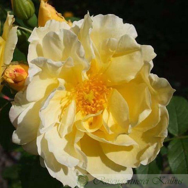 Historische Rose Gelbe Dagmar Hastrup