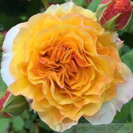Generosa Rose Georges Denjean®